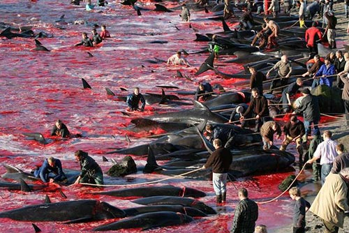 massacre baleine pilotes feroe