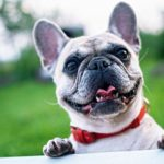 tete french bulldog