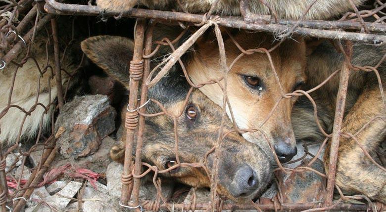 festival de Yulin chiens en cage
