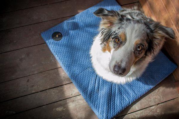 matela bleu chien