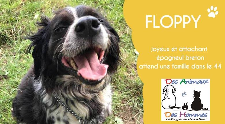 Floppy, épagneul breton en attente d'adoption