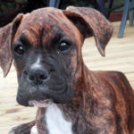 Nessy, chiot boxer