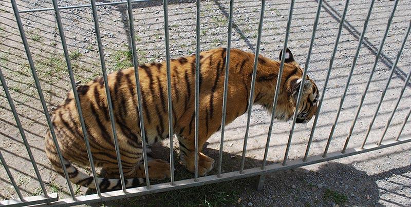 tigre cage cirque
