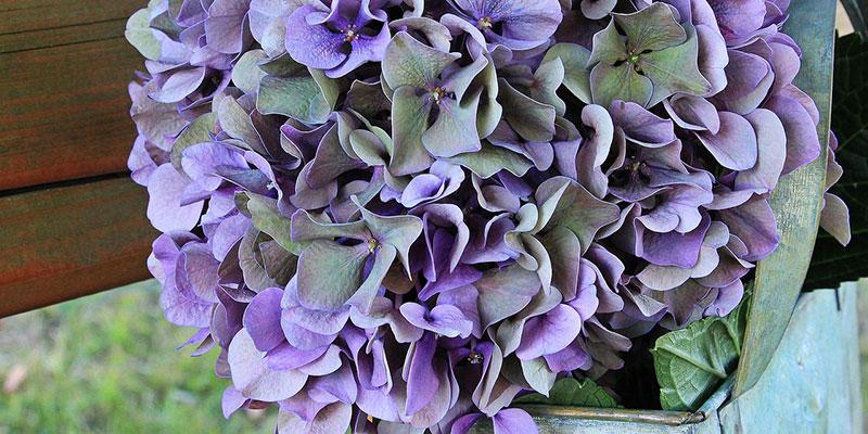hortensia nuisible pour les animaux