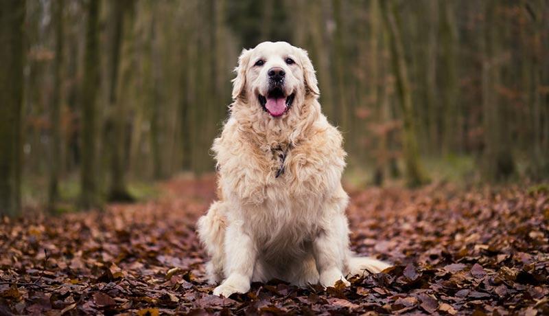 chien golden obèse