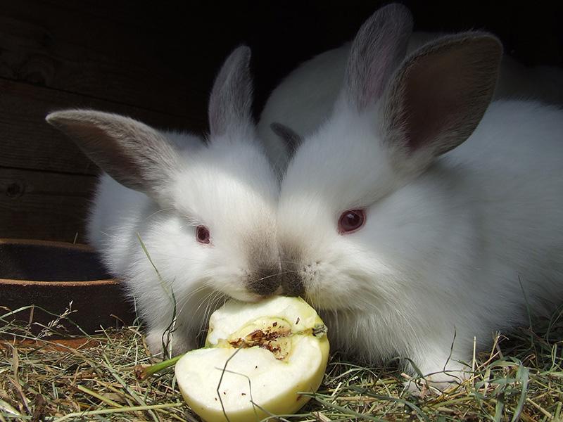 lapin fruits