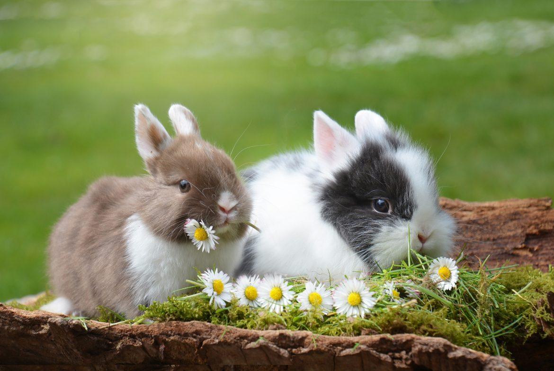 Recherche mâle lapin nain - Forum Lapin - Lapin - Wamiz