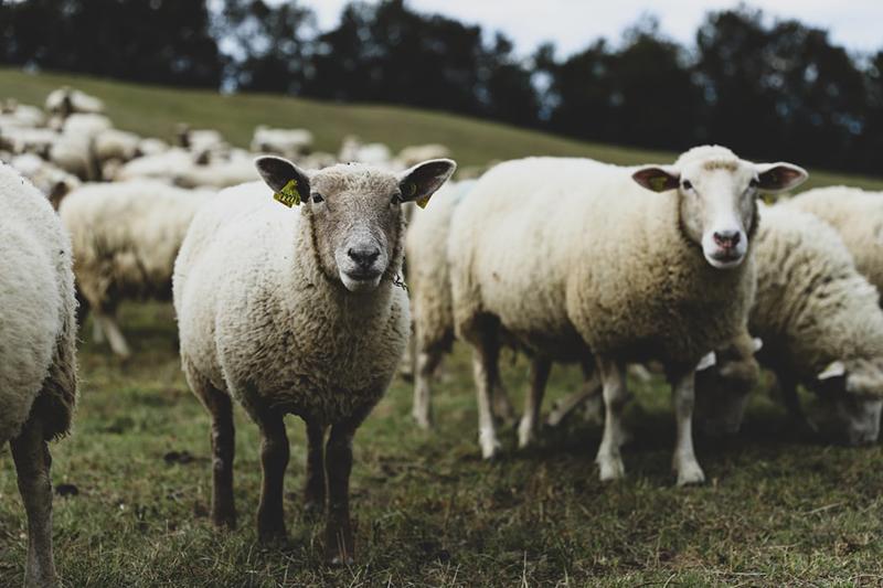Moutons de Haute Savoie