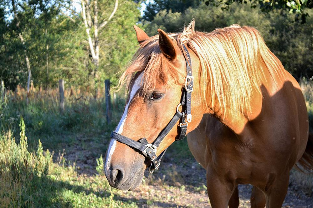 ostéopathe pour chevaux
