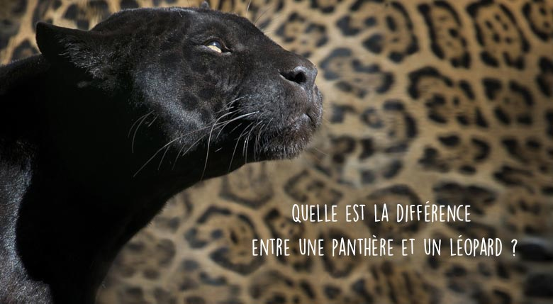 Différence entre panthère et léopard
