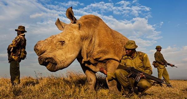 Protection du dernier mâle rhinocéros blanc