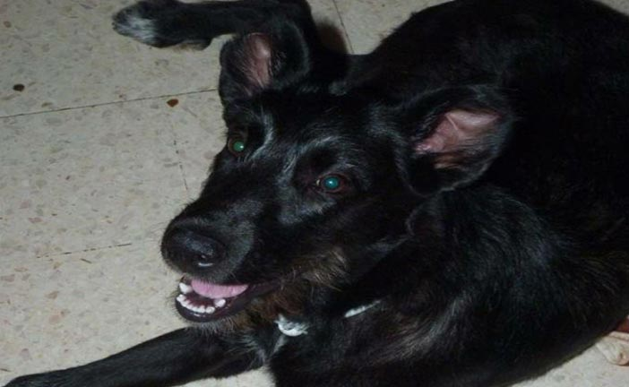 Lula chienne à l'adoption